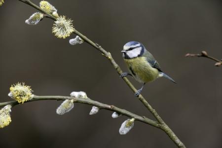 caeruleus: Tit azul, Parus caeruleus, solo p�jaro en la rama, Midlands, Reino Unido Foto de archivo
