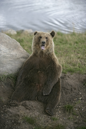 zoogdier: Europese bruine beer, Ursus arctos, enkel zoogdier Stockfoto