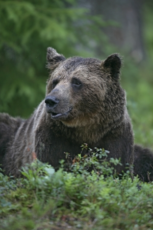 arctos: European brown bear, Ursus arctos arctos, single mammal in woodland, Finland