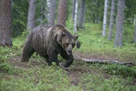 arctos: Orso bruno europeo, Ursus arctos arctos, unico mammifero in bosco, Finlandia