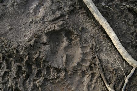 arctos: Orso bruno europeo, Ursus arctos arctos, singola impronta nel fango, Finlandia