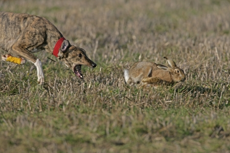 Brown hare, Lepus europaeus, Hare couring event