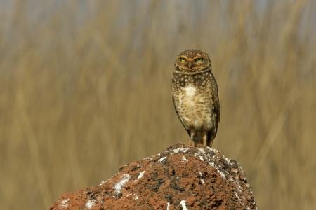 burrowing: Burrowing owl, Speotyto cunicularia, single bird on rock, Brazil