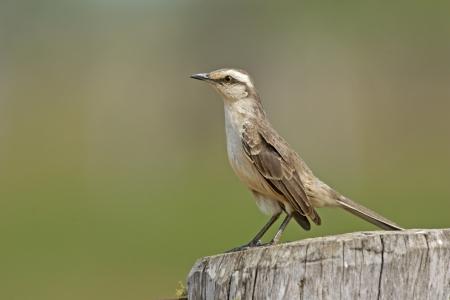 mockingbird: Chalk-browed mockingbird, Mimus saturninus, single bird on branch, Brazil  Stock Photo