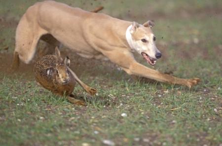 갈색 토끼, Lepus europaeus, 헤어 코스 행사