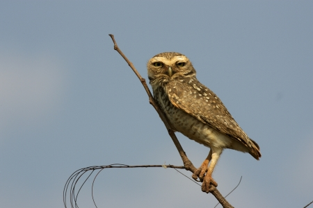 burrowing: Burrowing owl, Speotyto cunicularia, single bird on branch,       Brazil