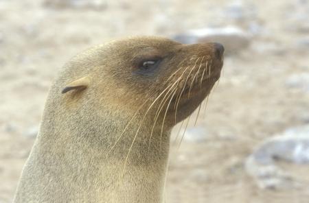 zoogdier: Cape pelsrob, Arctocephalus pusillus, enkel zoogdier hoofd geschoten, Namibië Stockfoto