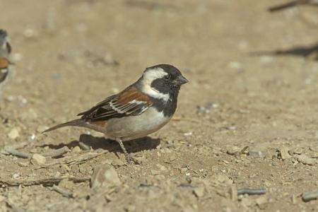 passer by: Cape sparrow, Passer melanurus, single male on floor, South Africa