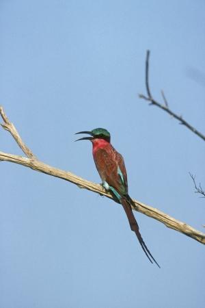 carmine: Carmine gruccione, nubicoides Merops, unico uccello sul ramo, Botswana