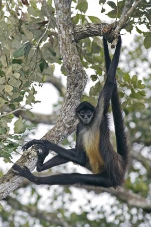 중앙 아메리카 거미 원숭이 또는 Geoffroys 거미 원숭이, Ateles geoffroyi, 지점에 단일 포유 동물 스톡 콘텐츠
