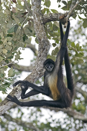 Central American Spider Monkey or Geoffroys spider monkey, Ateles geoffroyi, single mammal on branch
