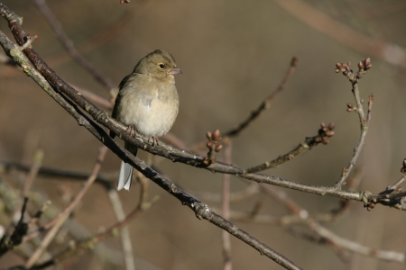 chaffinch: Fringuello, Fringilla coelebs, donna sola sul ramo, Midlands UK