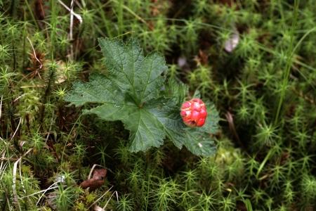 rubus chamaemorus: Cloudberry, Rubus chamaemorus, bayas y hojas Foto de archivo