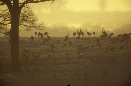 Common crane, Grus grus, group of birds, Sweden photo