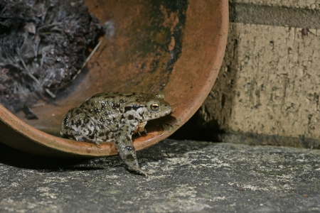 bufo toad: Common toad, Bufo bufo, single toad in flower pot, Wiltshire Stock Photo