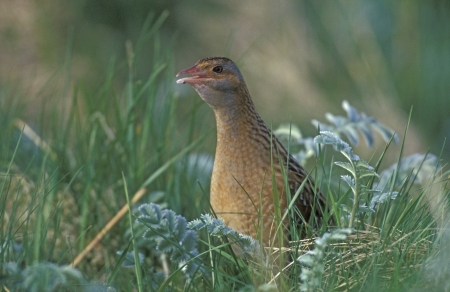 Corncrake, Crex crex, single bird in grass, Hebrides