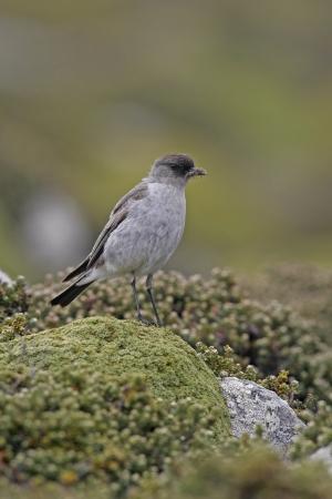 tiran: Maskergrondtiran, Muscisaxicola macloviana, enkele vogel op baars, Falklands Stockfoto