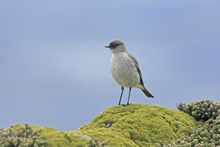 tyrant: Dark-faced ground tyrant, Muscisaxicola macloviana, single bird on perch, Falklands