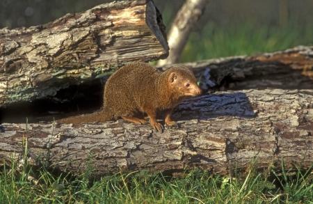 mongoose: Drawf mongoose, Helogale parvula, single mammal on log, Tanzania Stock Photo