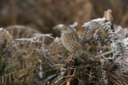 prunella: Dunnock or Hedge sparrow, Prunella modularis, single bird on branch,  UK