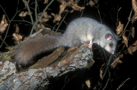 Edible or Fat dormouse, Glis glis, single mammal on branch