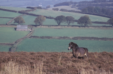 exmoor: Exmoor pony, single mammal on moor, Devon