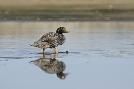 flightless: Falklands flightless streamer duck, Tachyeres brachypterus, single female by water, Falklands