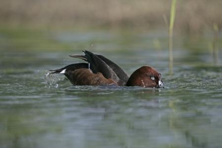 ferruginous: Ferruginous duck, Aythya nyroca, single bird on water,