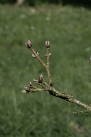 field maple: Field maple, Acer campestre, buds in spring Stock Photo