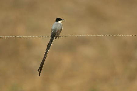 savana: Fork-tailed flycatcher, Tyrannus savana, single bird on wire fence, Belize Stock Photo