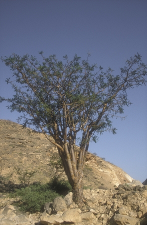 frankincense: Frankincence tree growing in the Oman