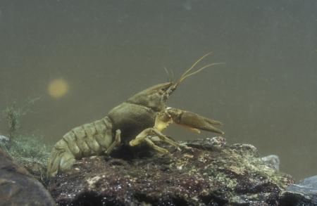 Freshwater crayfish, Austropotamobius pallipes, single animal under water Stock Photo