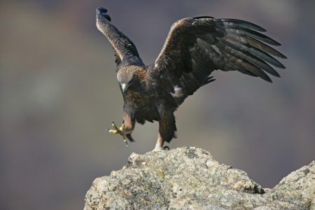Golden eagle, Aquila chrysaetos, single bird on rock, Bulgaria           Stock Photo