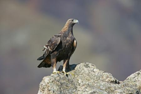 chrysaetos: �guila real, Aquila chrysaetos, solo p�jaro en roca, Bulgaria Foto de archivo