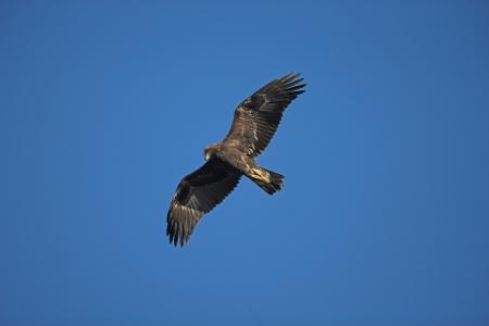 황금 독수리, 독수리의 chrysaetos, 비행 하나의 조류