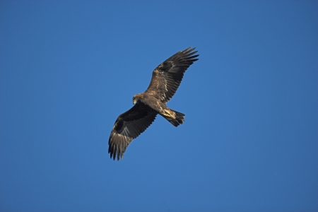 Golden eagle, Aquila chrysaetos, single bird in flight