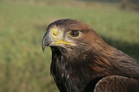 chrysaetos: �guila real, Aquila chrysaetos, solo tiro de cabeza de ave