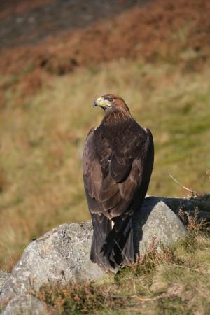 chrysaetos: Golden eagle, Aquila chrysaetos, single bird on rock Stock Photo