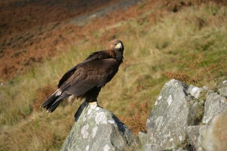 aquila: Golden eagle, Aquila chrysaetos, single bird on rock Stock Photo