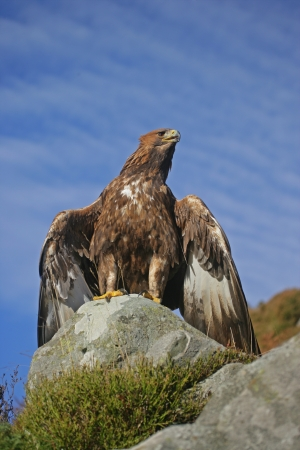 Golden eagle, Aquila chrysaetos, single bird on rock Stock Photo