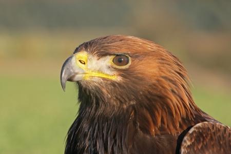 aquila: Golden eagle, Aquila chrysaetos, single bird head shot