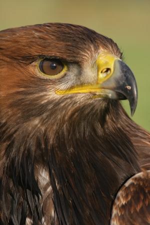 chrysaetos: Golden eagle, Aquila chrysaetos, single bird head shot