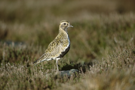 pluvialis: Golden plover, Pluvialis apricaria, single bird on grass