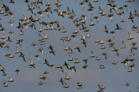 pluvialis: Golden plover, Pluvialis apricaria, large flock            Stock Photo