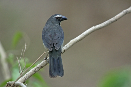 grigiastro: Saltator grigiastra o grigio, coerulescens saltator, unico uccello sul ramo, Brasile