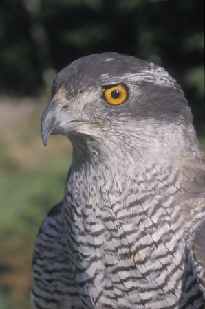 accipiter gentilis: Goshawk, Accipiter gentilis, single bird head shot