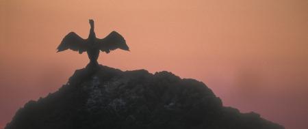 carbo: Great cormorant, Phalacrocorax carbo, single bird on rock