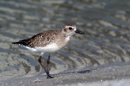 Grey plover, Pluvialis squatarola, single bird by water, Florida, USA  Stock Photo