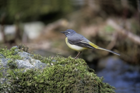 motacilla: Grey wagtail, Motacilla cinerea, single male on rock, UK
