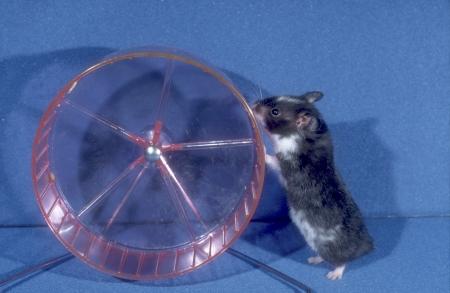 domestic animal: Hamster, single pet. domestic animal